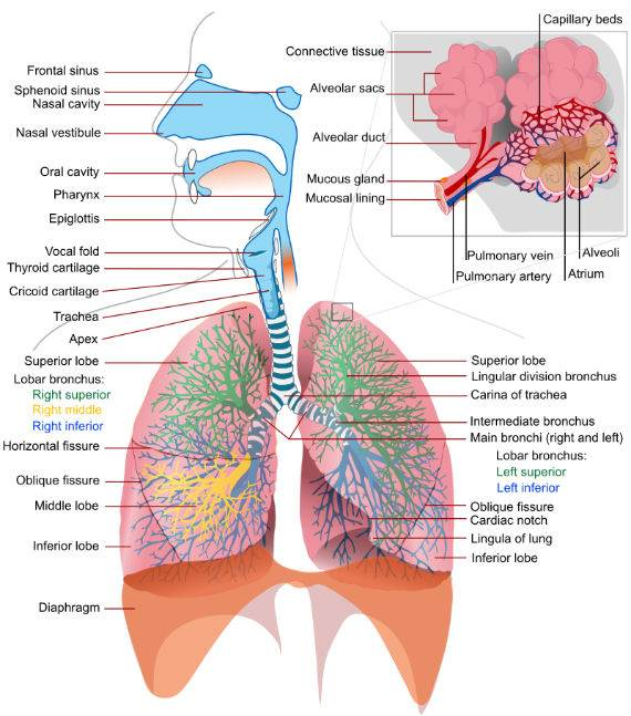 Respiratory_system_complete-Asbestos Is Not the Only Cause of Mesothelioma