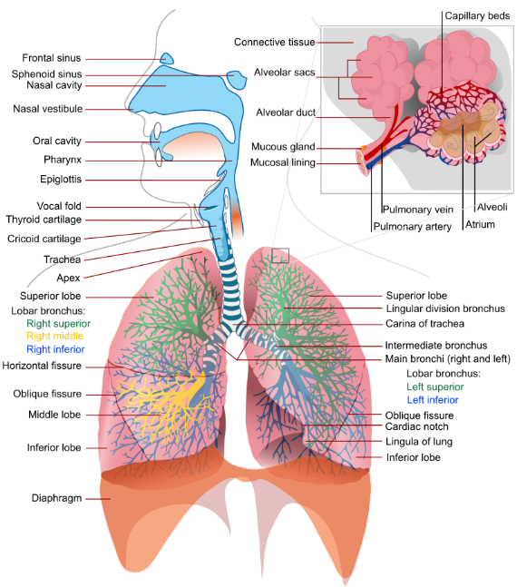 Respiratory_system_complete